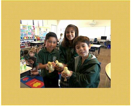 First Grade Welcomed Ducklings This Week!